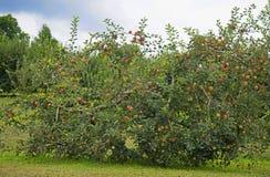 Κλείστε επάνω το δέντρο μηλιάς που καλύπτεται με τα ώριμα μήλα Στοκ Εικόνες