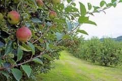 Κλείστε επάνω το δέντρο μηλιάς που καλύπτεται με τα ώριμα μήλα Στοκ εικόνα με δικαίωμα ελεύθερης χρήσης