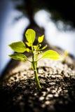 Κλείστε επάνω το δέντρο που βλαστάνει το νέο κλάδο Στοκ Φωτογραφία