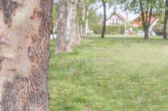 Κλείστε επάνω το δέντρο στο πάρκο πόλεων με τον πράσινο χορτοτάπητα Στοκ Εικόνες