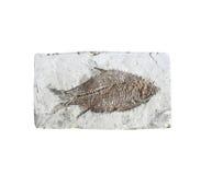 Κλείστε επάνω το απολίθωμα ψαριών στην πέτρα Στοκ Εικόνα