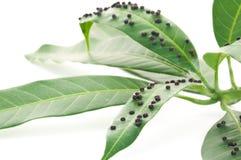 Κλείστε επάνω το ασθενές πράσινο φύλλο μάγκο από το ζωύφιο ή τον ιό στον κήπο, Στοκ Φωτογραφία