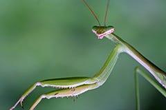 Κλείστε επάνω το βλέμμα των mantis Στοκ Εικόνα