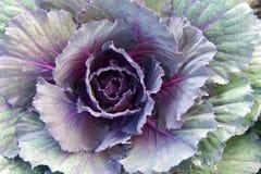 Κλείστε επάνω το διακοσμητικό λάχανο στον κήπο Στοκ Εικόνα