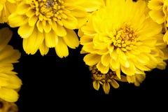 Κλείστε επάνω το κίτρινο λουλούδι με το μαύρο υπόβαθρο Στοκ εικόνα με δικαίωμα ελεύθερης χρήσης