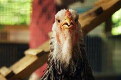 Κλείστε επάνω το κεφάλι κοτόπουλου Στοκ εικόνα με δικαίωμα ελεύθερης χρήσης