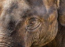 Κλείστε επάνω το μάτι ελεφάντων της Ασίας Στοκ εικόνες με δικαίωμα ελεύθερης χρήσης