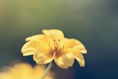 Κλείστε επάνω το μακρο κίτρινο λουλούδι Στοκ Φωτογραφίες