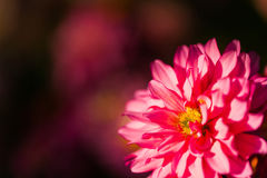 Κλείστε επάνω το μακρο κόκκινο λουλούδι με το υπόβαθρο Στοκ εικόνες με δικαίωμα ελεύθερης χρήσης