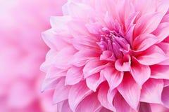 Κλείστε επάνω το μακρο ρόδινο λουλούδι με το υπόβαθρο Στοκ εικόνες με δικαίωμα ελεύθερης χρήσης