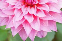 Κλείστε επάνω το μακρο όμορφο ρόδινο λουλούδι πετάλων Στοκ εικόνες με δικαίωμα ελεύθερης χρήσης