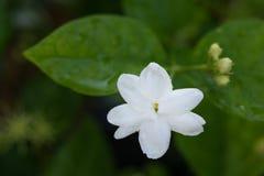 Κλείστε επάνω το λουλούδι της Jasmine Στοκ φωτογραφία με δικαίωμα ελεύθερης χρήσης