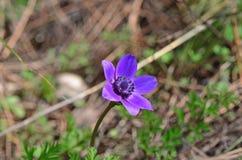 Κλείστε επάνω το λουλούδι anemone Στοκ Φωτογραφία