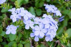 Κλείστε επάνω το λουλούδι Leadwort ακρωτηρίων (auriculata Plumbago) Στοκ φωτογραφίες με δικαίωμα ελεύθερης χρήσης