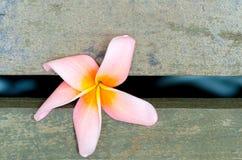 Κλείστε επάνω το λουλούδι Plumeria Στοκ φωτογραφία με δικαίωμα ελεύθερης χρήσης
