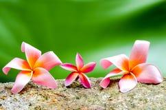Κλείστε επάνω το λουλούδι Plumeria Στοκ Εικόνες