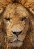 Κλείστε επάνω το πορτρέτο ενός λιονταριού. Στοκ φωτογραφία με δικαίωμα ελεύθερης χρήσης