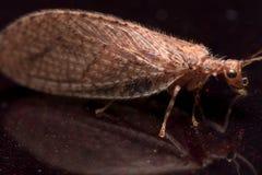 Κλείστε επάνω το πορτρέτο καφετιού Lacewing (micromus) Στοκ εικόνες με δικαίωμα ελεύθερης χρήσης