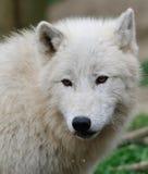 Κλείστε επάνω το πορτρέτο του άσπρου λύκου Στοκ Εικόνες