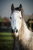 Κλείστε επάνω το πορτρέτο του γκρίζου αλόγου Στοκ Φωτογραφίες