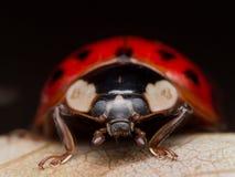 Κλείστε επάνω το πορτρέτο Asain κυρία Beetle (Ladybug) στο πεσμένο φύλλο Στοκ Εικόνα