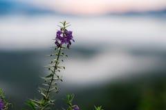 κλείστε επάνω το πορφυρό λουλούδι έχει την ανατολή και το βουνό που θολώνεται είναι BA Στοκ Φωτογραφίες