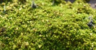 Κλείστε επάνω το πράσινο βρύο Στοκ Εικόνες