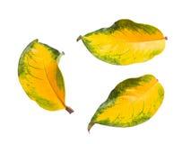 Κλείστε επάνω το πράσινο και κίτρινο φύλλο πτώσης που απομονώνεται Στοκ Εικόνες