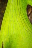 Κλείστε επάνω το πράσινο φύλλο, Indica παράσιτο Aristolochia Στοκ Εικόνα