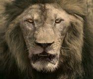 Κλείστε επάνω το πρόσωπο του αρσενικού βασιλιά ζώων σαφάρι λιονταριών επικίνδυνου αφρικανικού Στοκ Εικόνες