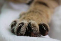 Κλείστε επάνω το πόδι γατών με τα καρφιά στοκ εικόνα με δικαίωμα ελεύθερης χρήσης