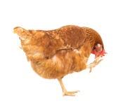 Κλείστε επάνω το πλήρες σώμα πορτρέτου της καφετιάς θηλυκής κότας αυγών που στέκεται SH Στοκ Εικόνα