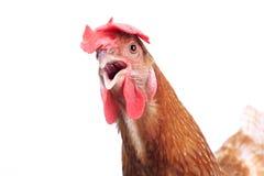Κλείστε επάνω το πλήρες σώμα πορτρέτου της καφετιάς θηλυκής κότας αυγών που στέκεται SH Στοκ Φωτογραφίες
