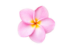 Κλείστε επάνω το ρόδινο λουλούδι frangipani που απομονώνεται στο λευκό Στοκ εικόνες με δικαίωμα ελεύθερης χρήσης