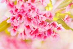 Κλείστε επάνω το ρόδινο λουλούδι sakura Στοκ Εικόνες