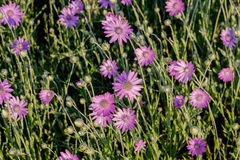 Κλείστε επάνω το υπόβαθρο λουλουδιών Καταπληκτική άποψη του ζωηρόχρωμου πορφυρού flo Στοκ Φωτογραφίες