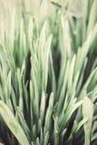 Κλείστε επάνω το υπόβαθρο φύσης τονισμένων των τρύγος daffodil φύλλων Στοκ Εικόνες
