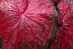 Κλείστε επάνω το φύλλο της βασίλισσας των leafty φυτών ή του Caladium στο σκοτάδι Στοκ εικόνα με δικαίωμα ελεύθερης χρήσης