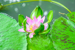 Κλείστε επάνω το λωτό λουλουδιών στο φύλλο Στοκ Εικόνες