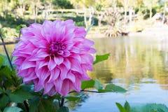 Κλείστε επάνω το όμορφο ρόδινο άνθος λουλουδιών νταλιών και τα πράσινα φύλλα φρέσκο floral φυσικό υπόβαθρο στοκ φωτογραφίες με δικαίωμα ελεύθερης χρήσης