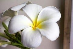 Κλείστε επάνω το eautiful plumeria λουλουδιών γοητείας άσπρο Στοκ φωτογραφία με δικαίωμα ελεύθερης χρήσης
