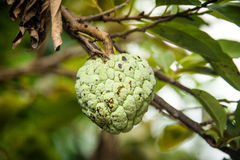 Κλείστε επάνω το squamosa Annona ή το μήλο κρέμας fruite στο δέντρο Στοκ εικόνα με δικαίωμα ελεύθερης χρήσης