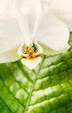 Κλείστε επάνω των άσπρων κόκκινων λουλουδιών ορχιδεών στο πράσινο υπόβαθρο φύλλων Φύση, SPA ή wellness Στοκ Φωτογραφίες