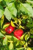 Κλείστε επάνω των εγκαταστάσεων πιπεριών με τα ωριμάζοντας πράσινα φρούτα κόκκινο πιπεριών Στοκ Φωτογραφία
