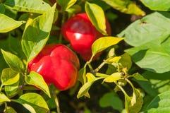 Κλείστε επάνω των εγκαταστάσεων πιπεριών με τα ωριμάζοντας πράσινα φρούτα κόκκινο πιπεριών Στοκ φωτογραφία με δικαίωμα ελεύθερης χρήσης