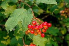 Κλείστε επάνω των δεσμών των κόκκινων μούρων ενός Guelder αυξήθηκε ή Viburnum Στοκ φωτογραφία με δικαίωμα ελεύθερης χρήσης