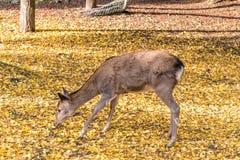 Κλείστε επάνω των ελαφιών στα κίτρινα φύλλα ginko Στοκ φωτογραφίες με δικαίωμα ελεύθερης χρήσης
