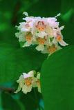 Κλείστε επάνω των ινδικών λουλουδιών δέντρων φασολιών (Catalpa bignonioides) Πλάτη στοκ εικόνα με δικαίωμα ελεύθερης χρήσης