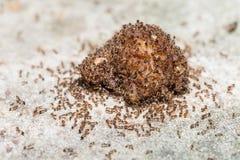 Κλείστε επάνω των κόκκινων εισαγόμενων μυρμηγκιών πυρκαγιάς στοκ εικόνα