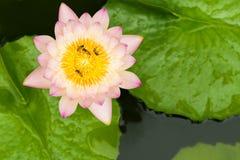 Κλείστε επάνω των μελισσών, στο λουλούδι λωτού Στοκ Εικόνες